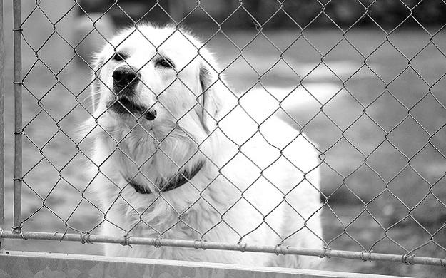 Охранный пес